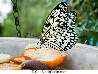 white Tree Nymph butterfly feeding on apple in captivity.