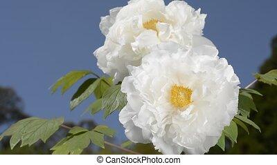 White tree peony flowers under blue sky