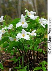 White Trillium blooming in woodlands, Ontario provincial ...