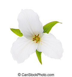 White Trillium flower isolated - Trillium Ontario provincial...