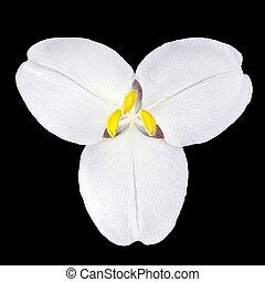 White Trillium Wild Flower Isolated on Black