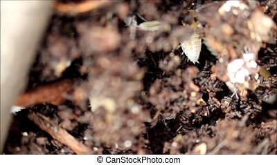 white tropical dwarf wood louse Trichorhina Tomentosa...