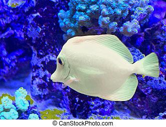 white tropical fish that swims in the large marine aquarium