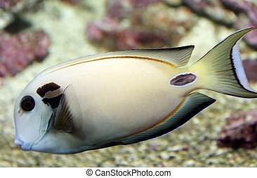 white tropical fish with veining swims in temperate seas