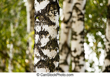 white trunks of a birch on the nature