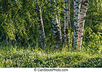 White trunks of birches on a background of green forest. -...