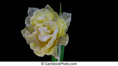 White tulip blooms on a black background, alpha channel 4k resolution