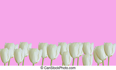 white tulip on a colored background frame