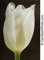 white tulip on wooden background