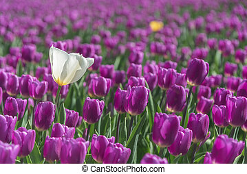 White tulip shining under the spring sun isolated by the purple color tulips