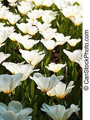 White tulips. Flower background.