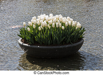 White tulips flowres in the pond in front of the Rijksmuseum in Amsterdam. Netherlands