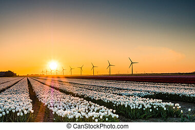 White tulips in field at sunrise