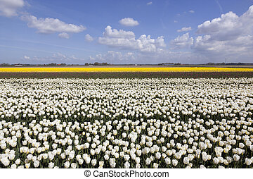 white tulips in flower field with blue sky and clouds