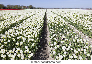 white tulips in flower field with blue sky and two clouds