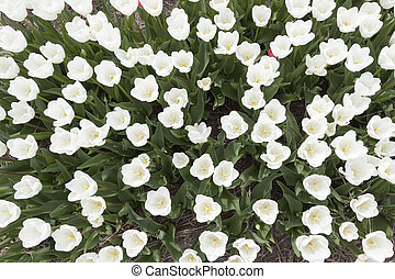 white tulips in garden seen from above