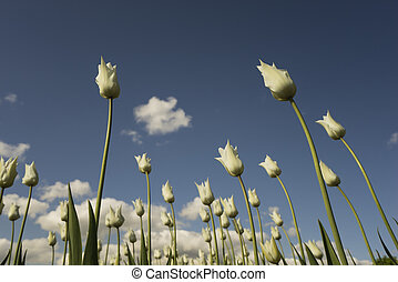 White tulips in spring on the sky background.