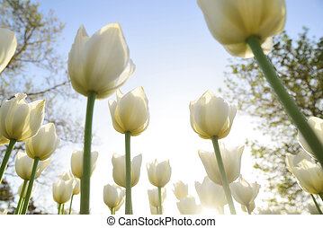 White tulips in the park under the rays of the evening sun. Bottom view