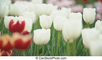 white tulips on the field close-up