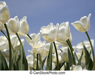 tulips - white tulips