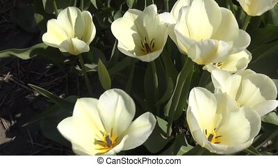 White Tulips. - Tulip (Tulipa) is a genus of...