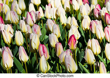 White tulips with a red blush