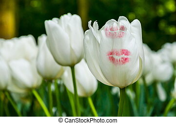 White tulips with kiss trace, Keukenhof Park, Lisse in Holland
