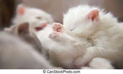 white two kitten playing sleeps bite each other room - white...