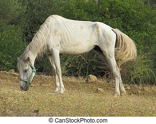 undernourished horse in olive grove