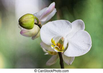 White Vanda Orchid
