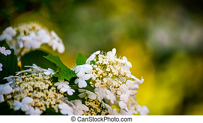 White viburnum flowers in a spring park