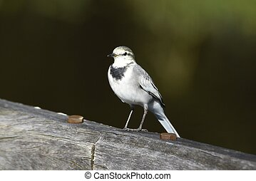 White wagtail is on the water and feeds on insects. Long ...