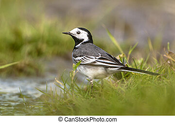 white wagtail (Motacilla alba) drinking water in a wetland ...