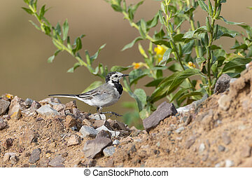 White wagtail (Motacilla alba) in summer walking over gravel...