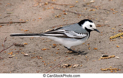White wagtail (Motacilla alba) on the ground