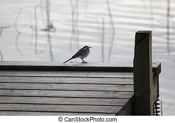 White Wagtail On A Dock