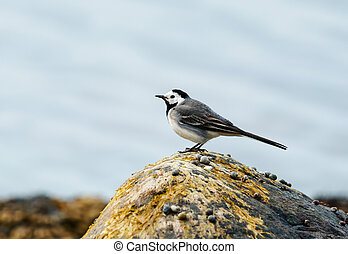 White wagtail perched on a rock on the coastal area