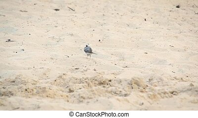 White wagtail stands on sand, cleans feathers and wags its...