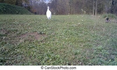 White Water Bird (Western Cattle Egret - Bubulcus Ibis) Land in a Sunny Day in a Green Grass Meadow Closeup. Water Animals and Nature FullHD Video.