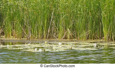 White water lilies of the lake on the background of reeds