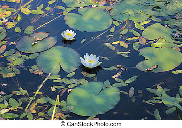 White water lilies on the pond. Aquatic plant. Beautiful white water lilies in the water among the leaves.