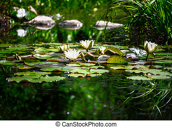 Closeup of a white water lilly blossom in a pond