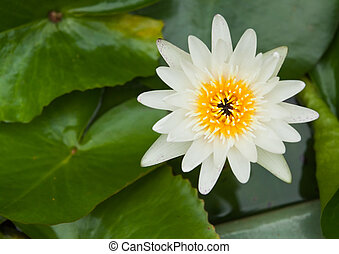 White water lilly on water background with leaves.
