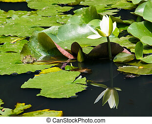 White water lily and a pond frog