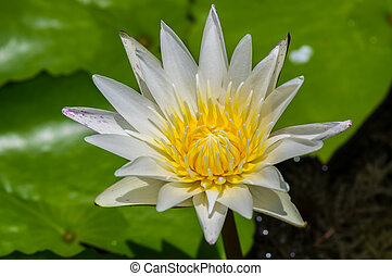 White water lily flower.