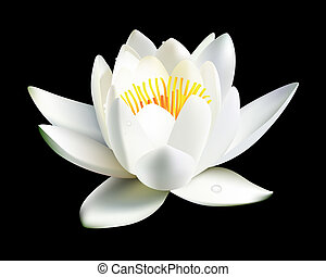 white water lily flower on a black background