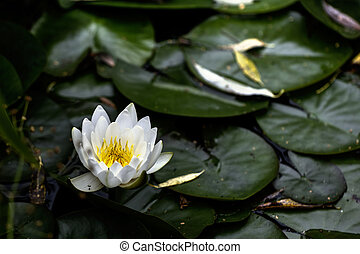 White water lily. Flower.
