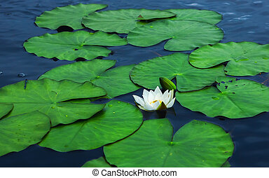White Water Lily Flower With Leaves On The Water Surface