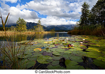 water lily flowers on lake Barmsee