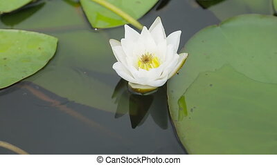 White water Lily in the lake - white water Lily in the lake